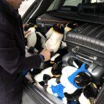 Nach der Messe mussten die Pinguine wieder zurück in den Kofferraum.